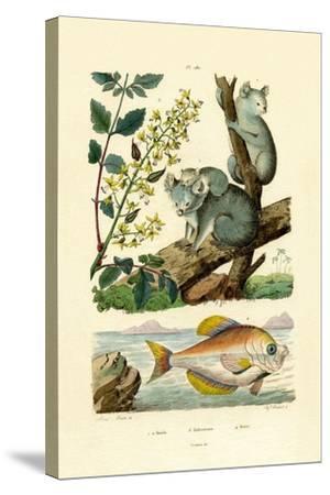 Koala, 1833-39--Stretched Canvas Print