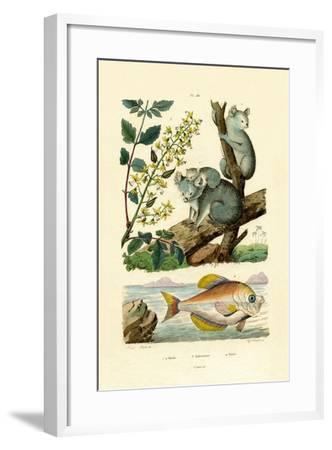 Koala, 1833-39--Framed Giclee Print