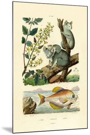 Koala, 1833-39--Mounted Giclee Print