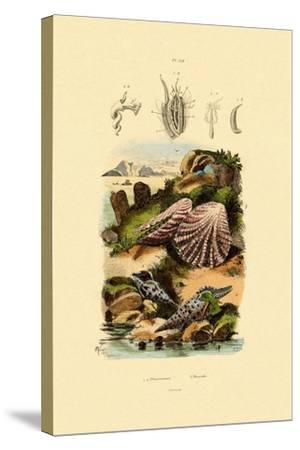 Slit Shells, 1833-39--Stretched Canvas Print