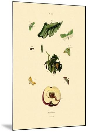 Snout Moths, 1833-39--Mounted Giclee Print