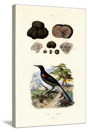 Oriole, 1833-39--Stretched Canvas Print