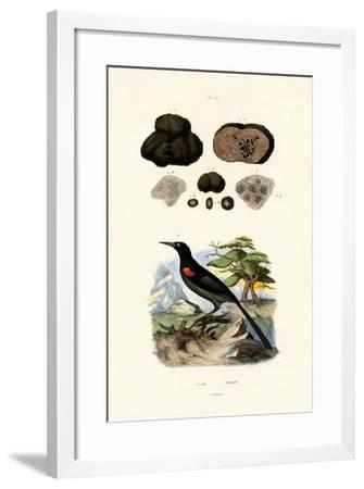 Oriole, 1833-39--Framed Giclee Print