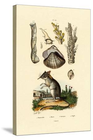 Shrew, 1833-39--Stretched Canvas Print