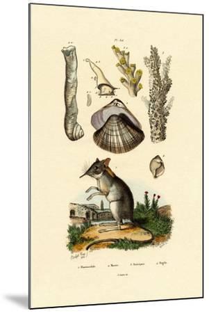Shrew, 1833-39--Mounted Giclee Print