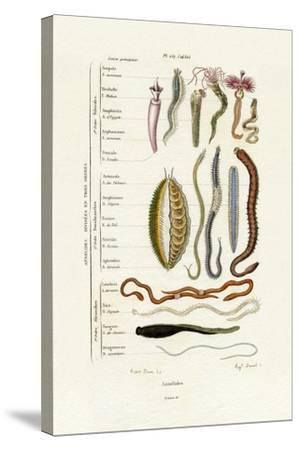 Annelids, 1833-39--Stretched Canvas Print