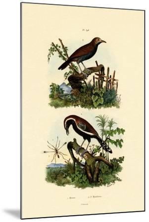 Antbirds, 1833-39--Mounted Giclee Print