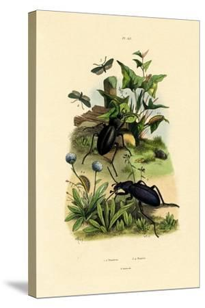 Beetles, 1833-39--Stretched Canvas Print