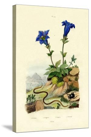 Gentian, 1833-39--Stretched Canvas Print