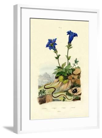 Gentian, 1833-39--Framed Giclee Print
