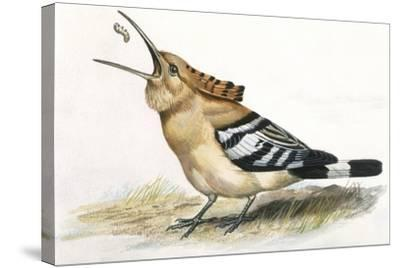 Birds: Coraciiformes, Hoopoe (Upupa Epops) Catching Larva--Stretched Canvas Print