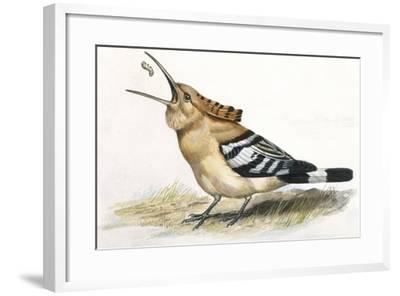 Birds: Coraciiformes, Hoopoe (Upupa Epops) Catching Larva--Framed Giclee Print