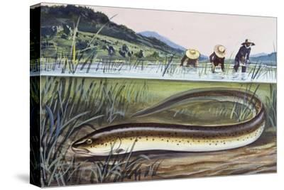 Asian Swamp Eel or Rice Eel (Fluta Alba), Synbranchidae--Stretched Canvas Print