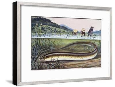 Asian Swamp Eel or Rice Eel (Fluta Alba), Synbranchidae--Framed Giclee Print
