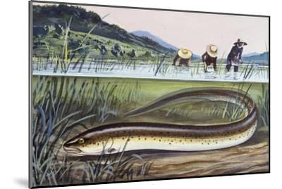 Asian Swamp Eel or Rice Eel (Fluta Alba), Synbranchidae--Mounted Giclee Print