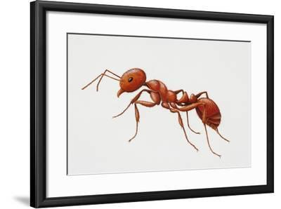 Red Fire Ant (Solenopsis Invicta), Formicidae--Framed Giclee Print