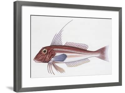 Zoology: Fishes: Long-Finned Gurnard (Aspitriglia Obscura,Illustration--Framed Giclee Print