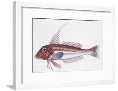 Zoology: Fishes: Long-Finned Gurnard (Aspitriglia Obscura,Illustration--Framed Giclee Print