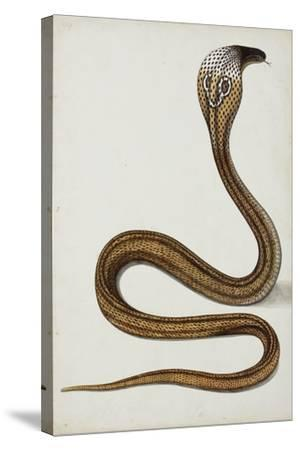 A Cobra (Maja Tripudians) with Hood Spread, 1785-89--Stretched Canvas Print