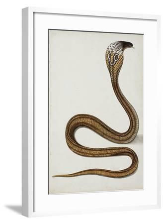 A Cobra (Maja Tripudians) with Hood Spread, 1785-89--Framed Giclee Print