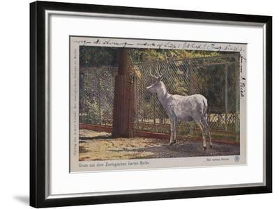 White Deer in the Zoo in Berlin--Framed Giclee Print