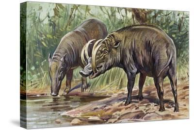 Buru Babirusa or Golden Babirusa (Babyrousa Babyrussa), Suidae--Stretched Canvas Print