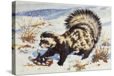 Marbled Polecat (Vormela Peregusna), Mustelidae, Drawing--Stretched Canvas Print