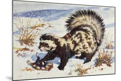 Marbled Polecat (Vormela Peregusna), Mustelidae, Drawing--Mounted Giclee Print