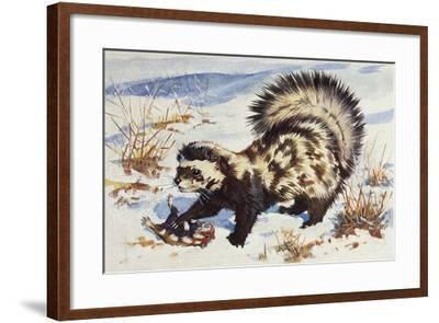 Marbled Polecat (Vormela Peregusna), Mustelidae, Drawing--Framed Giclee Print