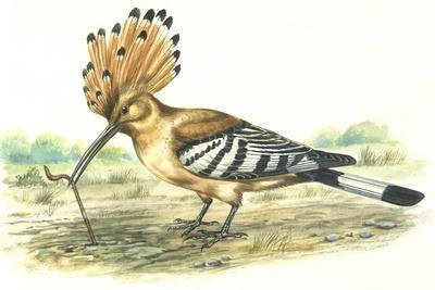 Birds: Coraciiformes, Hoopoe (Upupa Epops) Capturing Earthworm--Framed Giclee Print