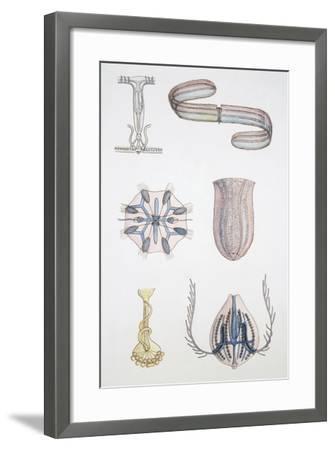 Medium Group of Ctenophores--Framed Giclee Print