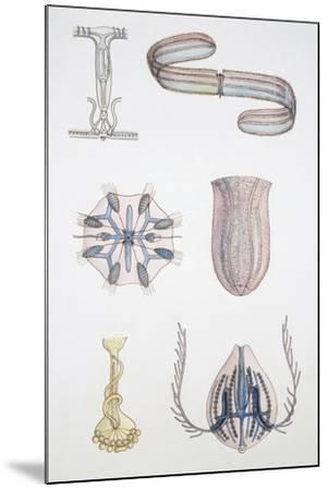 Medium Group of Ctenophores--Mounted Giclee Print
