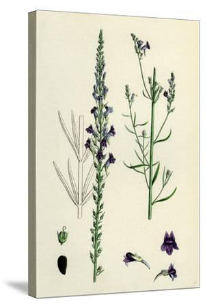 Linaria Purpurea; Purple Toadflax--Stretched Canvas Print