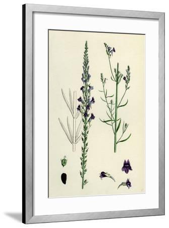 Linaria Purpurea; Purple Toadflax--Framed Giclee Print