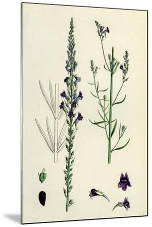 Linaria Purpurea; Purple Toadflax--Mounted Giclee Print