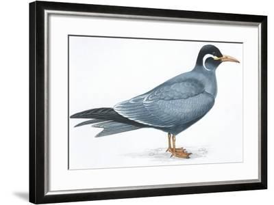 Birds: Charadriiformes, Inca Tern (Larosterna Inca)--Framed Giclee Print