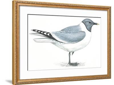 Birds: Charadriiformes, Sabine's Gull (Xema Sabini)--Framed Giclee Print