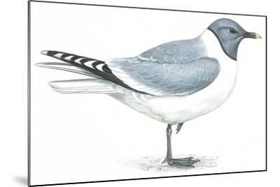 Birds: Charadriiformes, Sabine's Gull (Xema Sabini)--Mounted Giclee Print