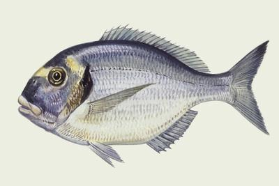 Fishes: Gilthead Sea Bream (Sparus Auratus)--Mounted Giclee Print