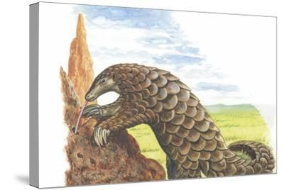 Giant Pangolin Manis Gigantea Catching Ants--Stretched Canvas Print