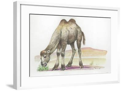 Young Bactrian Camel Camelus Bactrianus--Framed Giclee Print