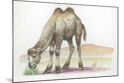Young Bactrian Camel Camelus Bactrianus--Mounted Giclee Print