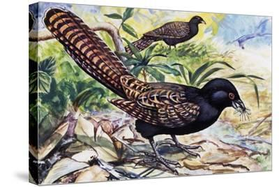Pheasant Coucal (Centropus Phasianinus), Cuculidae--Stretched Canvas Print