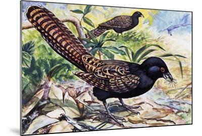 Pheasant Coucal (Centropus Phasianinus), Cuculidae--Mounted Giclee Print