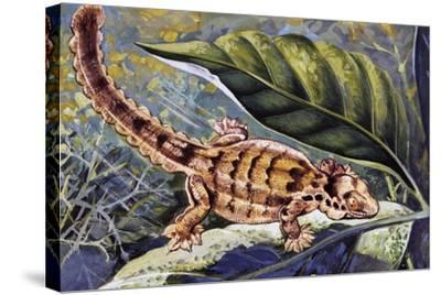Kuhl's Flying Gecko (Ptychozoon Kuhli), Gekkonidae--Stretched Canvas Print
