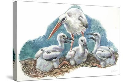 White Stork Ciconia Ciconia in Nest with Youngs--Stretched Canvas Print