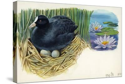 Eurasian Coot Fulica Atra Warming Eggs in the Nest--Stretched Canvas Print