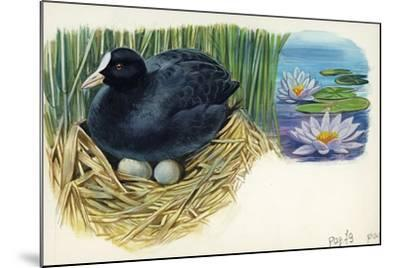 Eurasian Coot Fulica Atra Warming Eggs in the Nest--Mounted Giclee Print