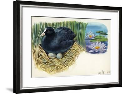 Eurasian Coot Fulica Atra Warming Eggs in the Nest--Framed Giclee Print