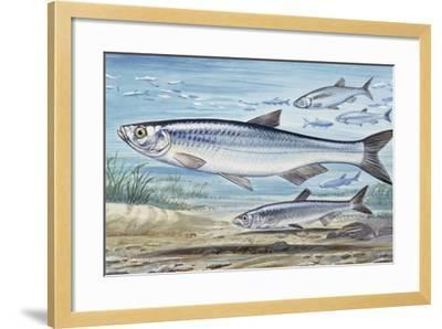 Bleak (Alburnus Alburnus), Cyprinidae, Drawing--Framed Giclee Print